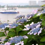 県内最大級の2万株のあじさいが咲き誇る!「第17回八景島あじさい祭」
